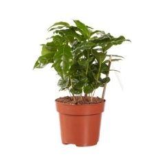 plante cafetier